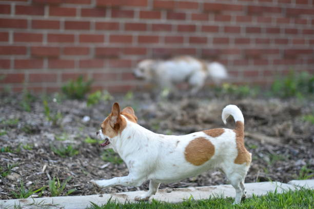 small dog running with another faster dog in background - steven harrie stock photos and pictures