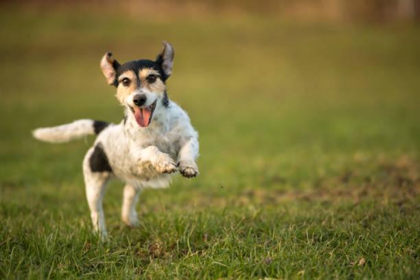 kleiner Hund läuft und fliegt über eine grüne Wiese im Frühjahr. Jack Russell Terrier Hund 8 Jahre alt – Foto