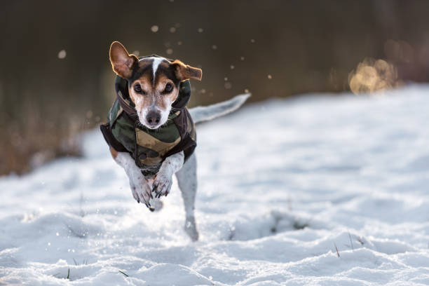 Small dog runs over a meadow in the snow in winter and wears a warm picture id909503042?b=1&k=6&m=909503042&s=612x612&w=0&h=swiuu84k6pzgr6cbhgrfs7befr zhut9 wtyx9omlve=