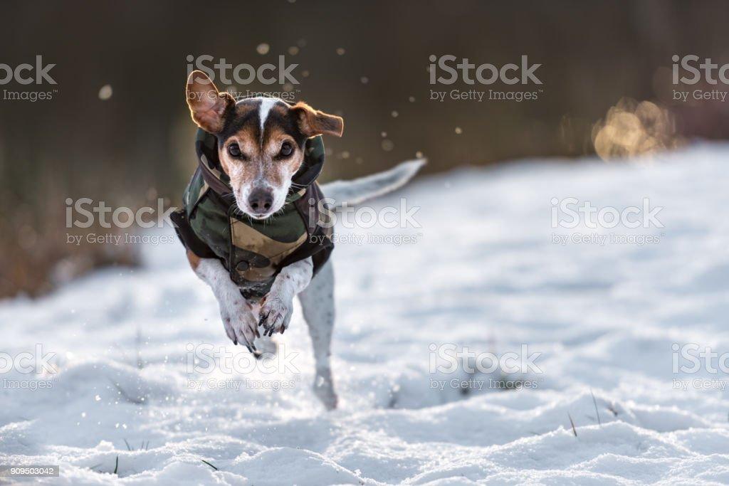 kleiner Hund läuft über eine Wiese im Schnee im Winter und trägt einen warmen Mantel - süße Jack-Russell-Terrier Hund, 11 Jahre alt, Haar Typ glatt – Foto