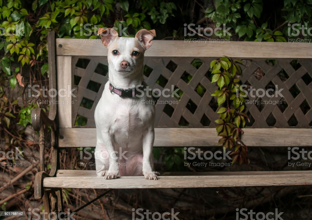 Miraculous Small Dog Seated On A Bench Posing For A Photo Stock Photo Frankydiablos Diy Chair Ideas Frankydiabloscom