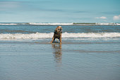 Small dog (Border terrier) shakes the sea water off his fur after playing in the sea water on a beautiful sunny day on the beach of Ameland