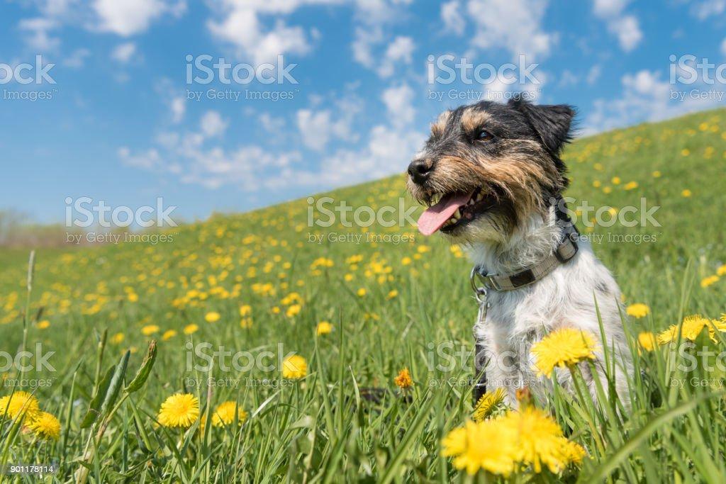 Kleiner Hund sitzt im blühenden Wiese voller Löwenzahn im Frühling - Haar Stil rau - Jack Russell Terrier Doogy - 2 Jahre alt – Foto