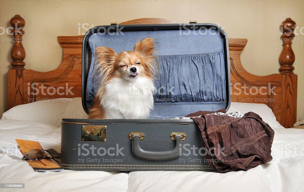 Резултат слика за papillon dog travel