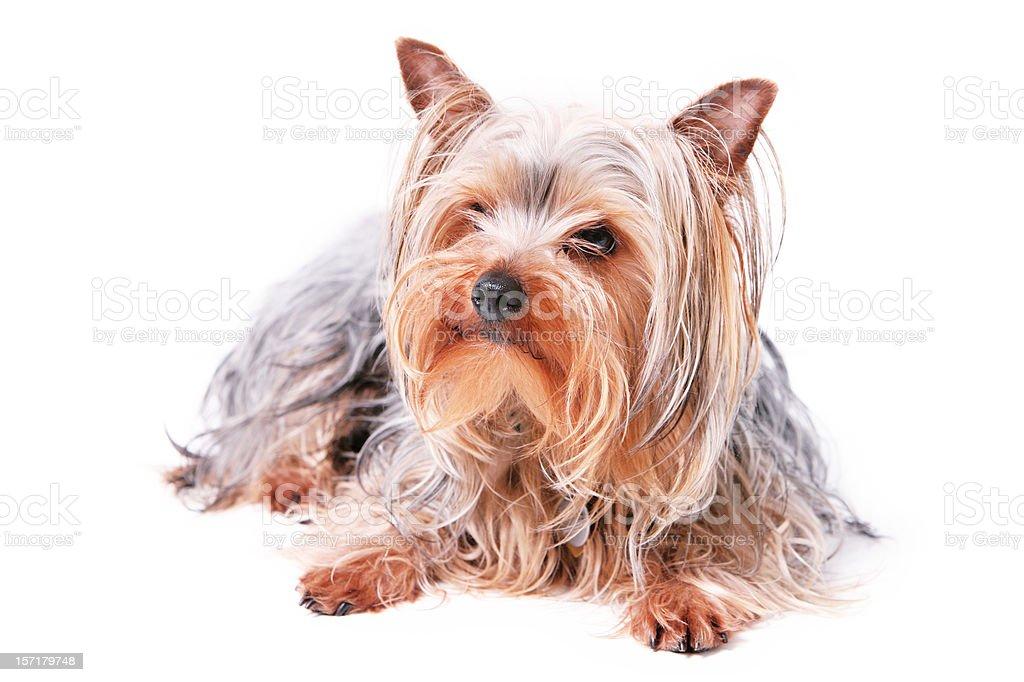 Small Dog Sitting Portrait royalty-free stock photo