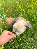 istock Small dog smells the flowers 1182892097