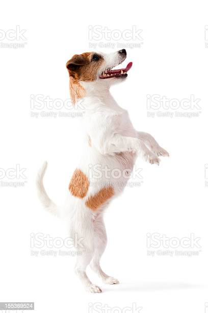 Small dog standing on two feet with white background picture id155369524?b=1&k=6&m=155369524&s=612x612&h=mw1e vfnqexu5hsoqenrpixp3iu9vz l2xewovp0t6a=