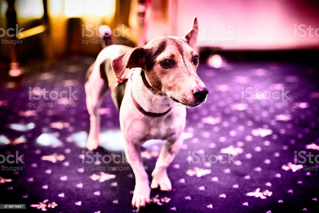 small dog stands on a purple carpet stock photo