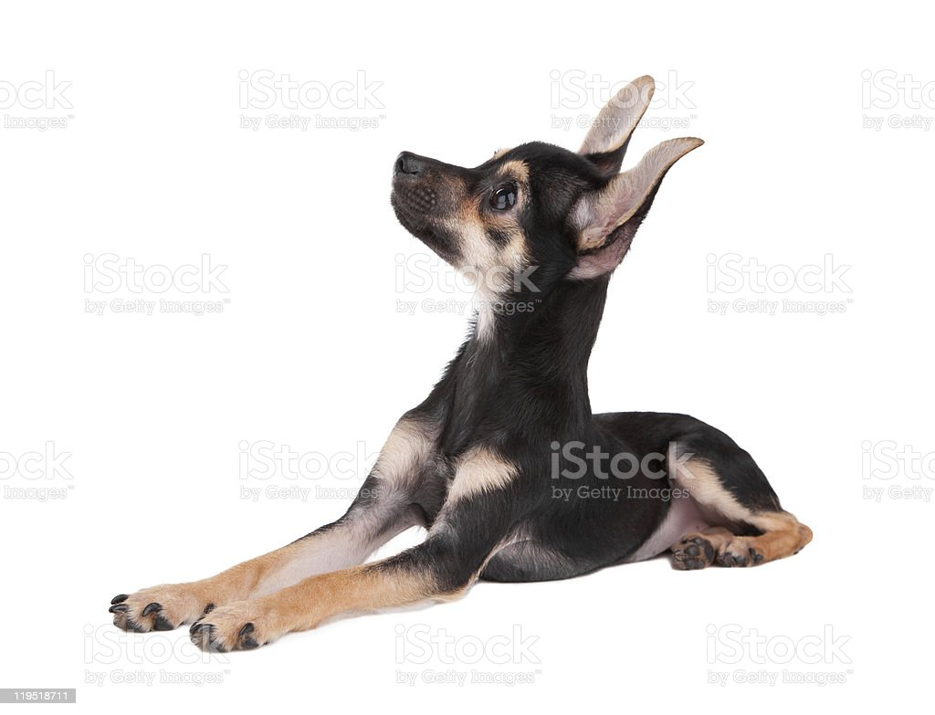 Small dog toy terrier look upwards isolated on white royalty-free stock photo
