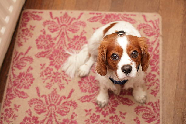 Small dog waiting for a walk stock photo