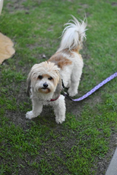 small dog with harness on grass with leash ready for a walk - steven harrie stock photos and pictures