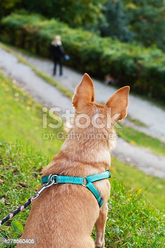 Small dog with pointy ears sitting and observing a dog walker and her dog from elevated position. Dogs, pets and obedience training concepts
