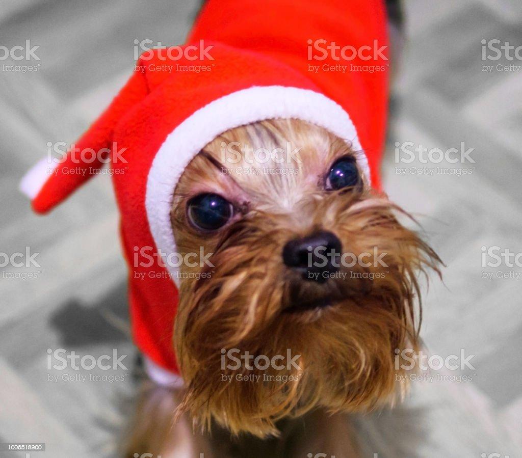 Small doggie in Santa's suit. stock photo