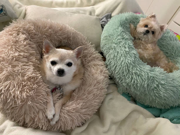 Small dogs in beds on bed stock photo