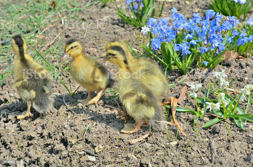 Small ducklings stock photo