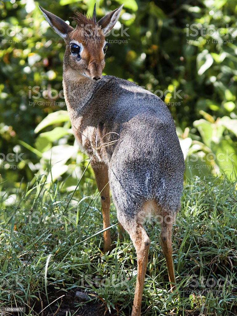 Small duiker close-up on stock photo