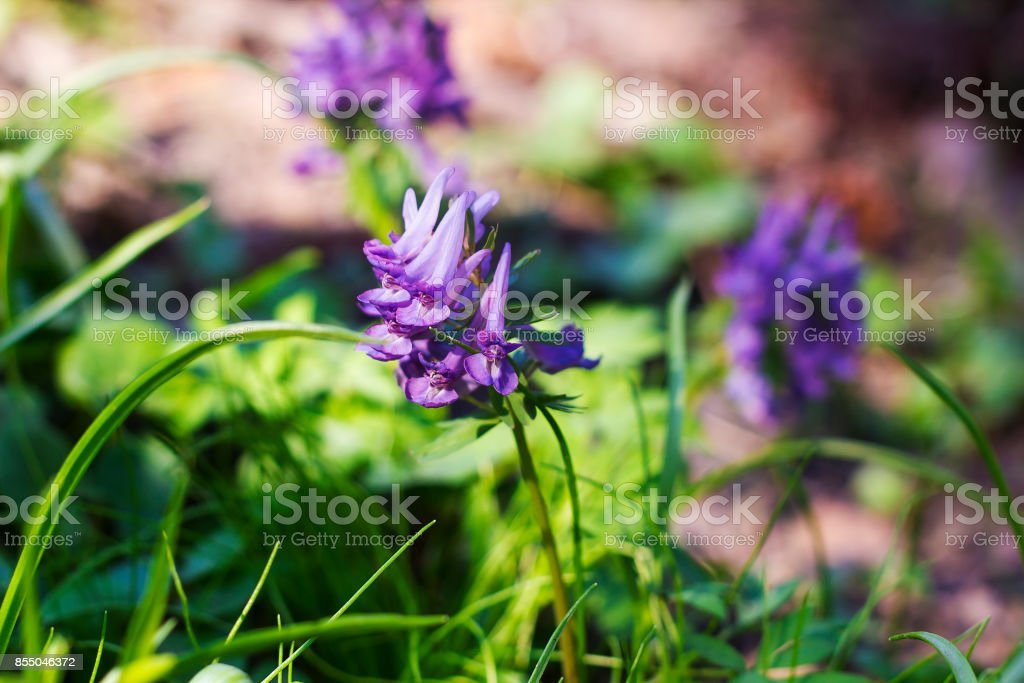 Small early purple flowers Corydalis side view stock photo