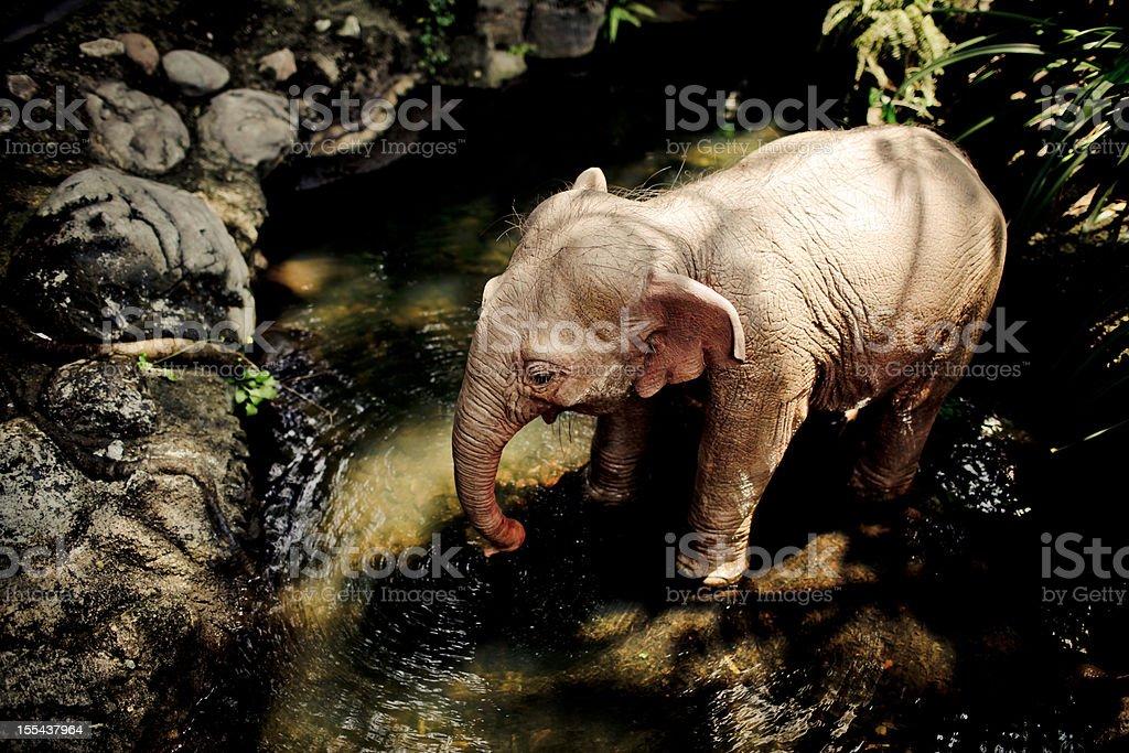 Small Elephant Drinking Water - XXXLarge royalty-free stock photo