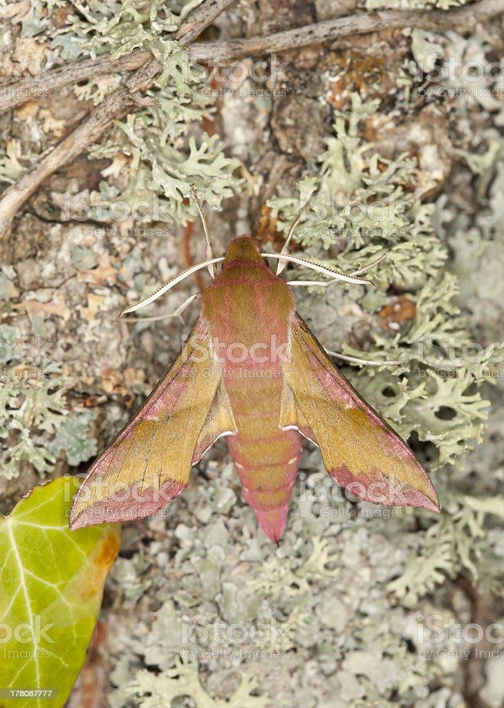 Small elephant hawk-moth, Deilephila porcellus on oak, macro photo stock photo