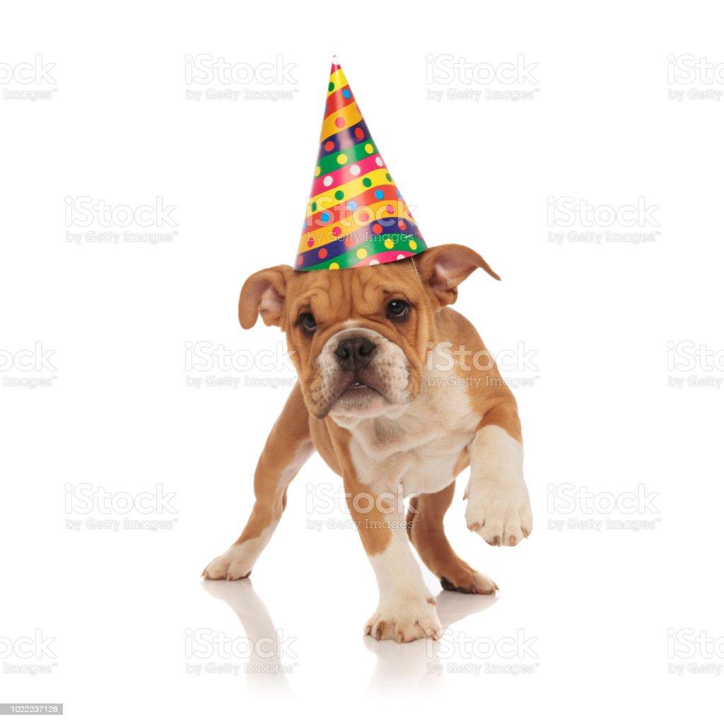 Small English Bulldog With Birthday Hat Walks