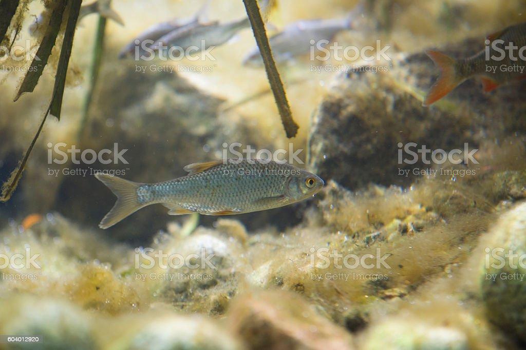small europen river fish in fresh water aquarium stock photo