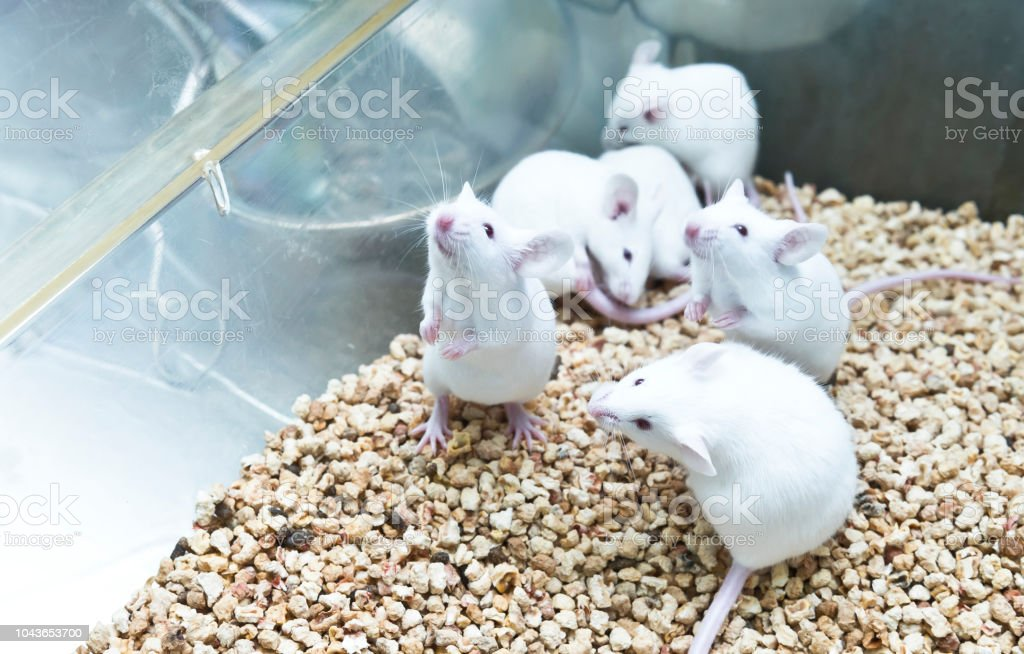 Small experimental white mice in cage stock photo