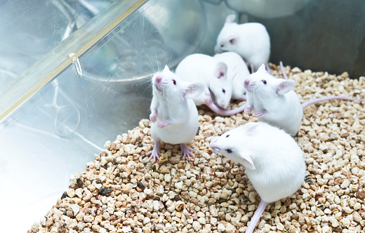 Small Experimental White Mice In Cage Stock Photo - Download Image Now