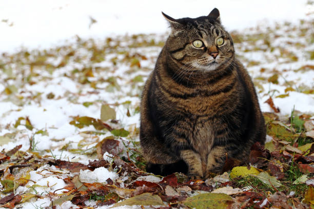 Small fat cat sits with a funny look in the foliage and snow picture id1126005230?b=1&k=6&m=1126005230&s=612x612&w=0&h=ywqywtx 2vhudjnr9wyr0j77ou64kri iyfkjuplziw=