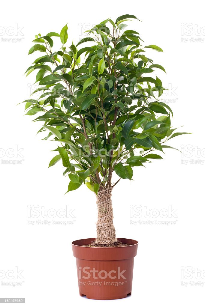 A small ficus tree planted in a brown clay pot stock photo