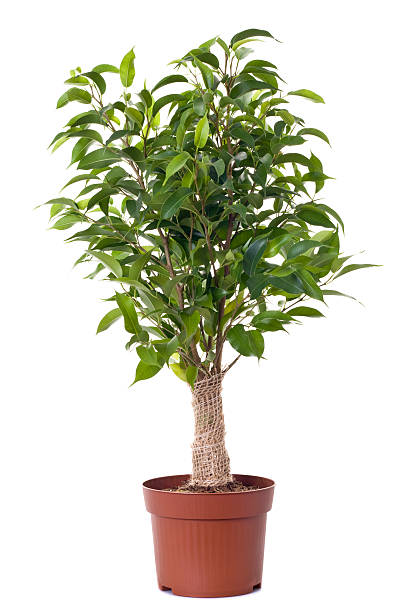 a small ficus tree planted in a brown clay pot - potplant stockfoto's en -beelden