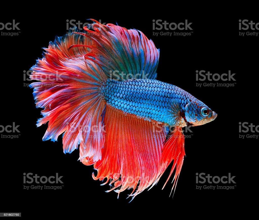 Petit poisson combattant photos et plus d 39 images de for Nourriture pour poisson combattant
