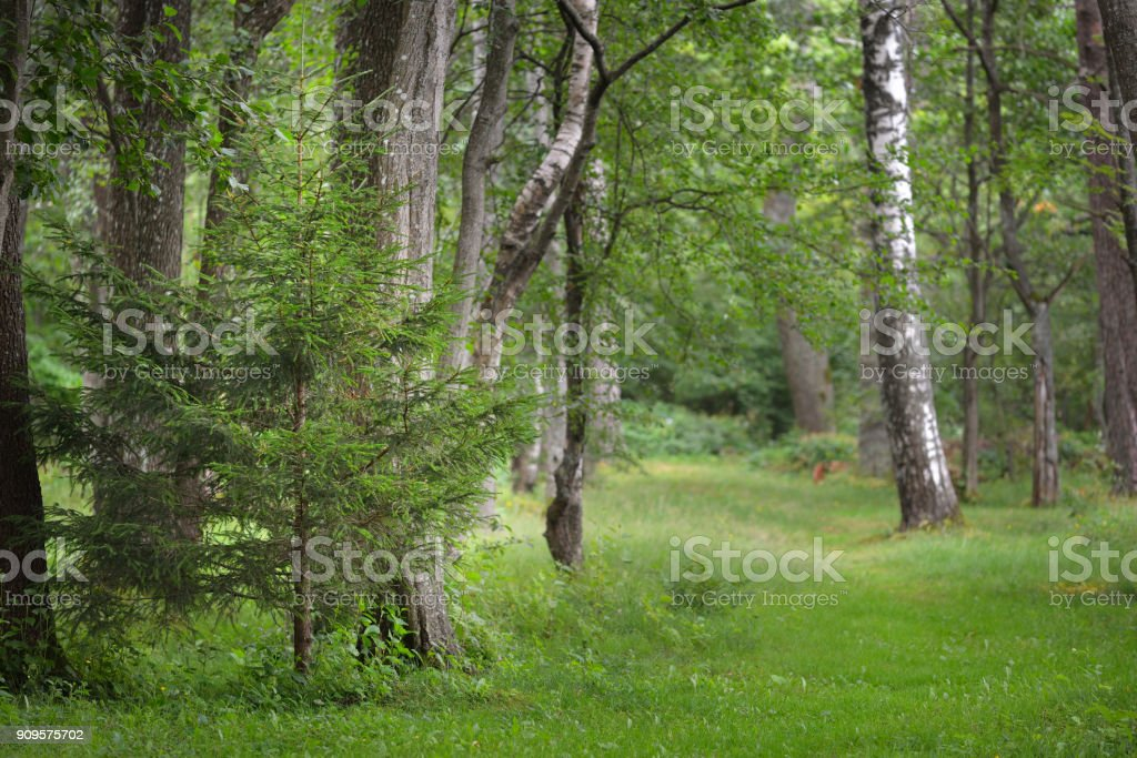 Small fir tree in a green deciduous forest in summer stock photo