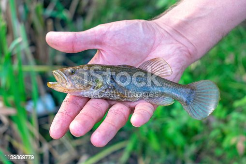 139888169 istock photo small fish in the hand of a fisherman. (Perccottus glenii). 1139869779
