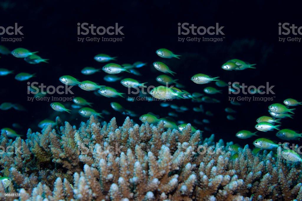 Small fish over coral - 免版稅中東圖庫照片