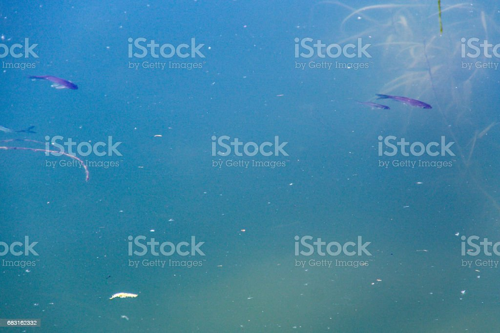 Small fish swim in blue water of the lake 免版稅 stock photo
