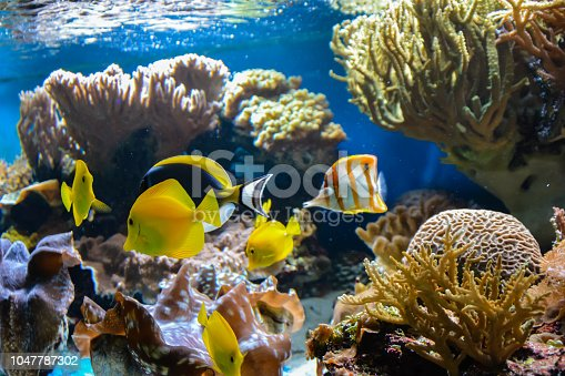 istock Small fish swimming in an aquarium on a blue background with algae in the background. 1047787302