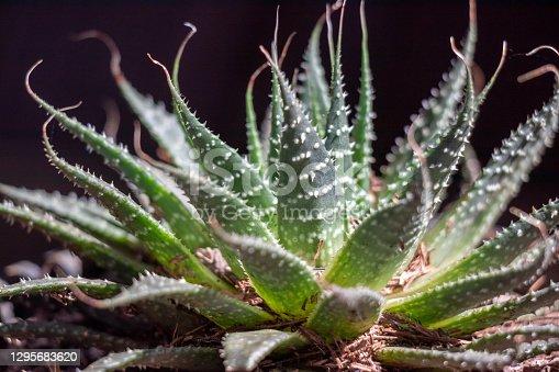 istock Small Fleshy Plants 1295683620