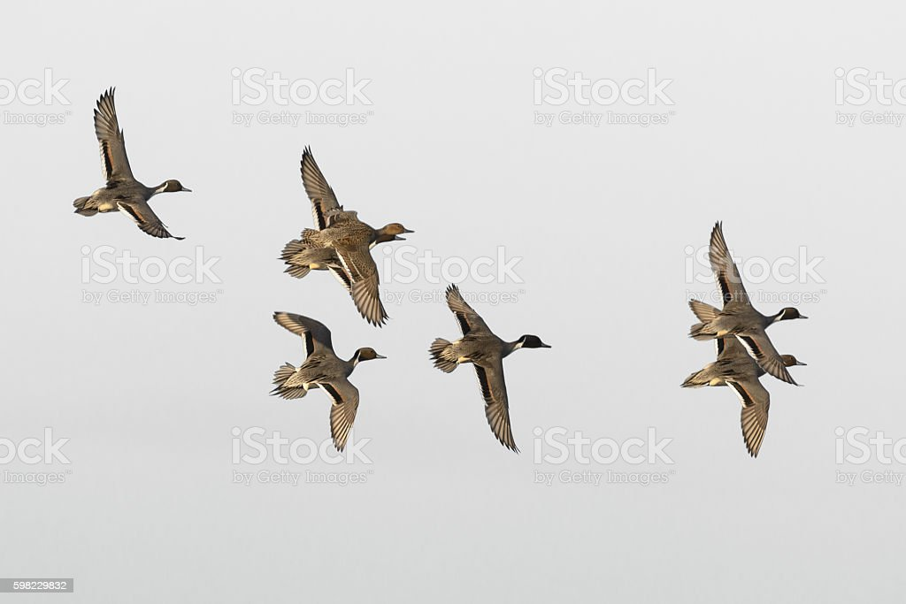 Small flock flying pintail ducks foto royalty-free