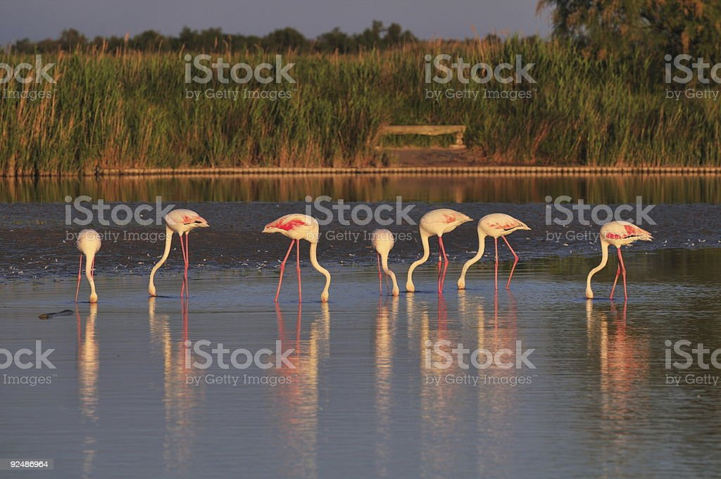 small flock of greater flamingoes eating at sunset royalty-free stock photo