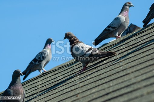 A small flock of grey pigeons sit on the grey roof of a house on a sunny afternoon