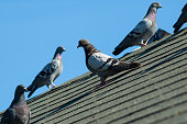 Small flock of grey pigeons sit on roof on a sunny afternoon