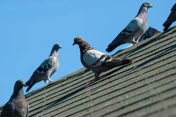 Small flock of grey pigeons sit on roof on a sunny afternoon A small flock of grey pigeons sit on the grey roof of a house on a sunny afternoon pigeon stock pictures, royalty-free photos & images