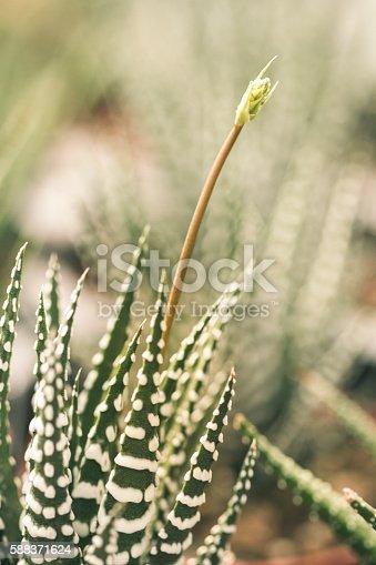 Small Succulent plant. Haworthia attenuata (zebra plant)