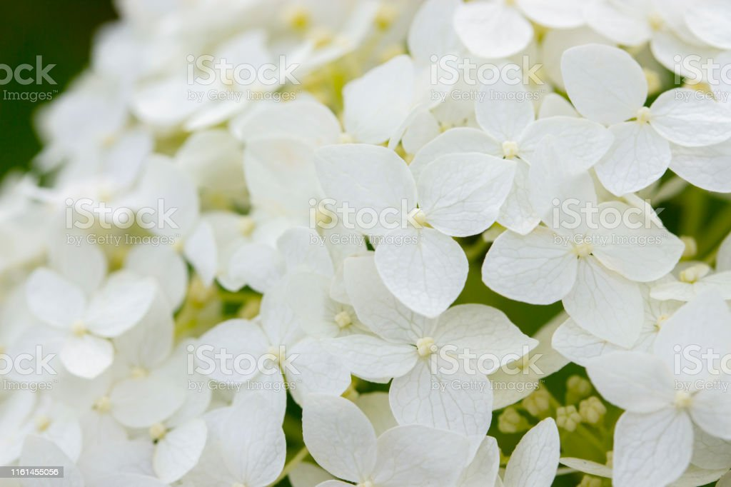 Small flowers blooming white hydrangea closeup, garden flower...