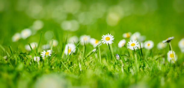 kleine bloemen op gazon bij sprintime - madeliefje stockfoto's en -beelden