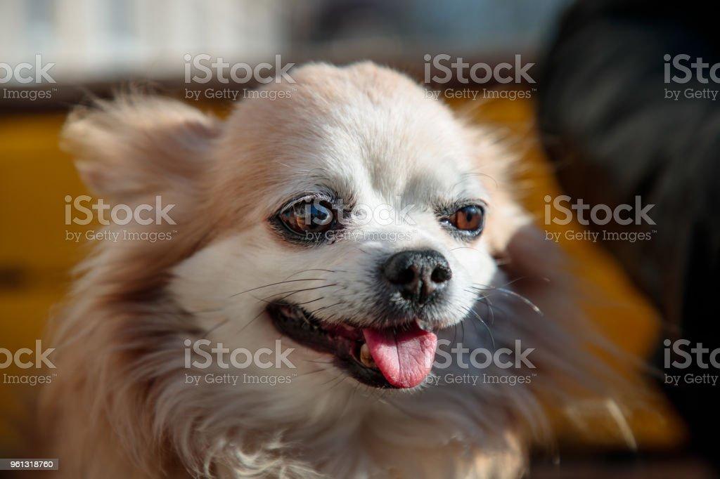 Wondrous Small Fluffy And White Dog Near Its Owner On A Bench Stock Frankydiablos Diy Chair Ideas Frankydiabloscom