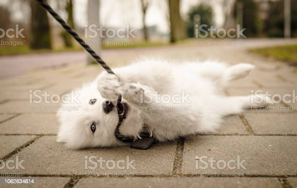 Small fluffy young white samoyed puppy lays on the ground looking at picture id1062634614?b=1&k=6&m=1062634614&s=612x612&h=sgfknwj4sinj2n g7suml aasix29aslehiphs5xvsa=