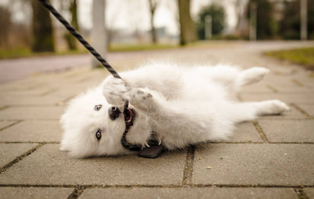 Small, fluffy, young white Samoyed puppy lays on the ground looking at the camera and biting her leash stock photo