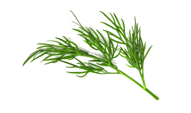 A small fragment of a dill branch A small fragment of a dill branch isolated on a white background a macro shot of a top view dill stock pictures, royalty-free photos & images