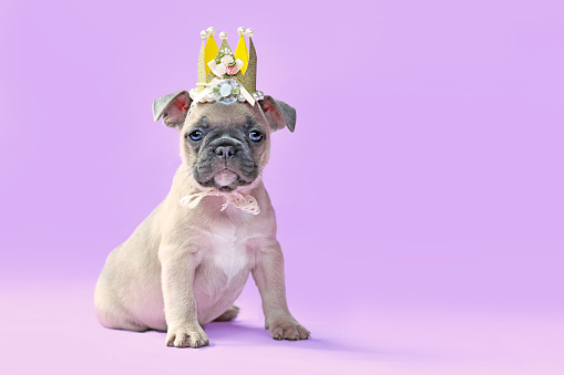 Small lilac fawn colored French Buldog dog puppy with hanging ears wearing a golden paper crown with lace and ribbons on purple background with empty copy space
